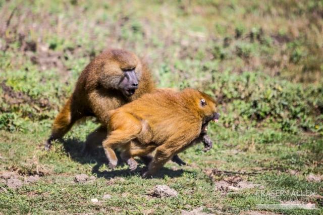 Port Lympne fighting baboons