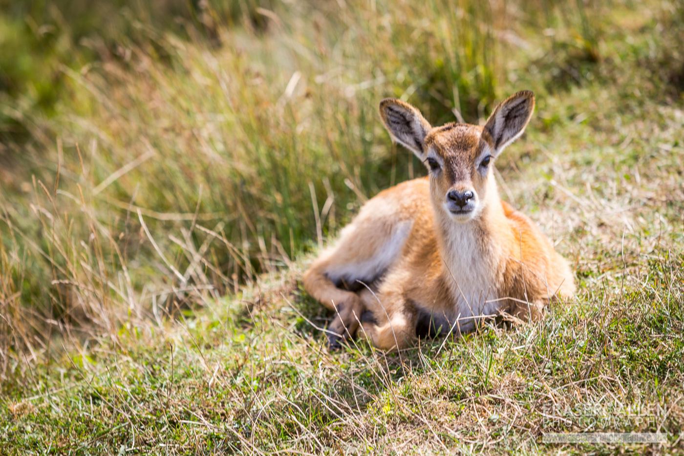 Port Lympne deer