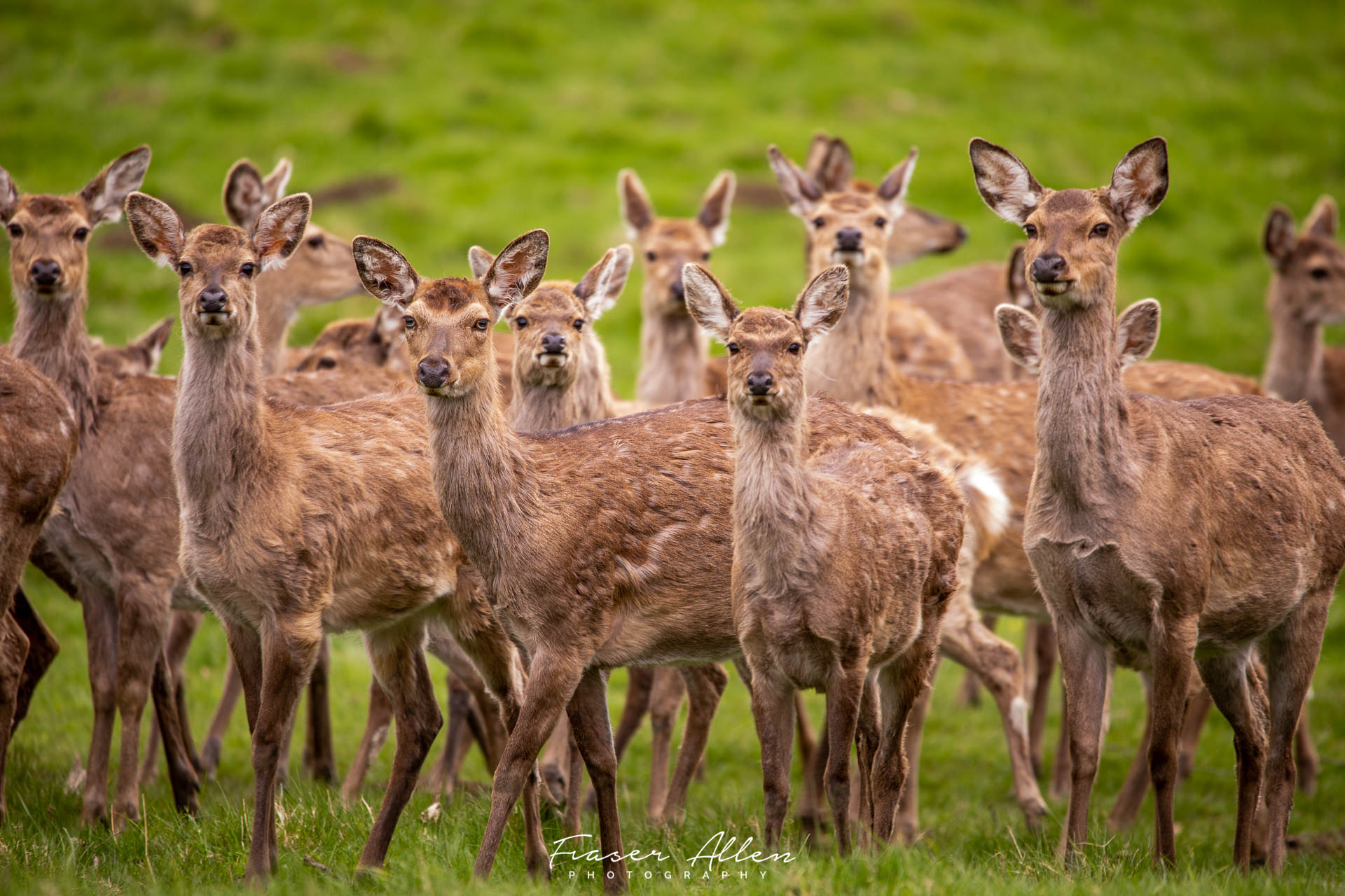 Deer at Fountain's Abbey in the Yorkshire Dales